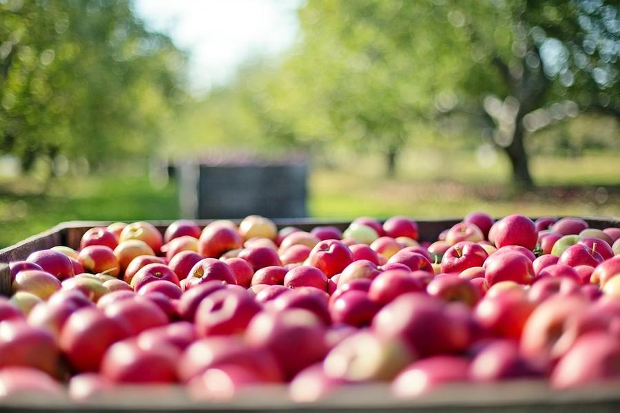 Coldiretti, annata negativa per le mele e le pere veronesi