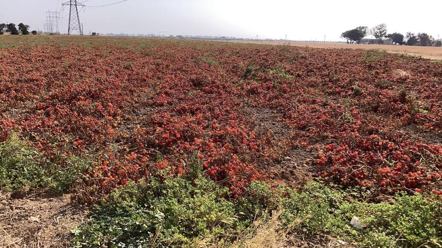 Con il caldo perdite del 20% della produzione di pomodori