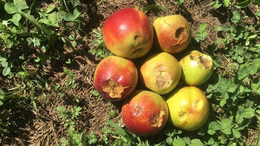 I danni ai frutteti procurati dal maltempo.