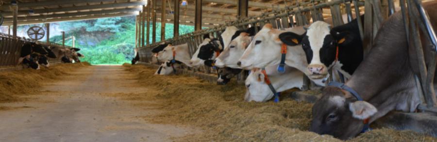 Allarme allevamenti: prezzo del latte alle stelle