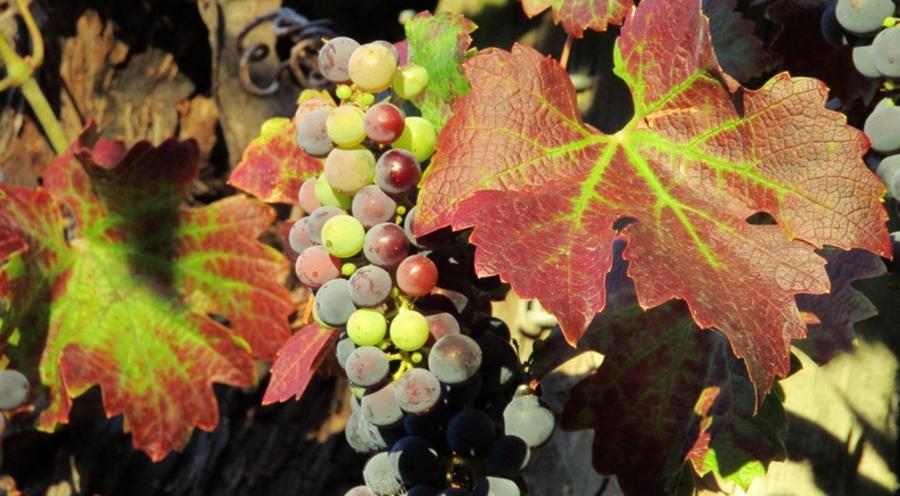 Viti malate, in pericolo l'eccellenza del vino veronese