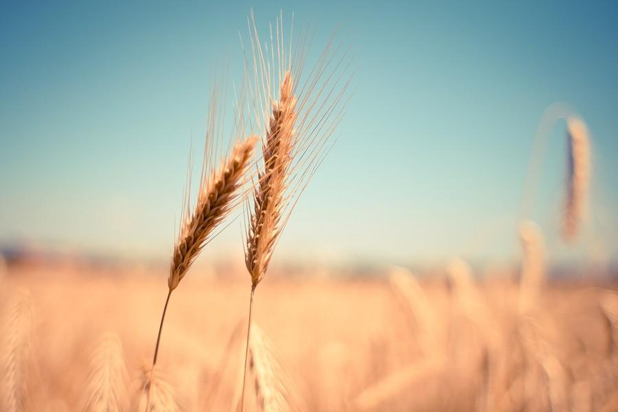 Mercato Coperto, questo weekend la festa del grano